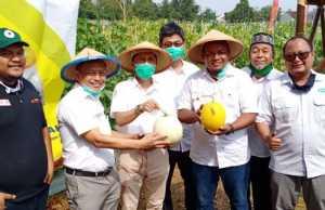 Panen buah melon di Universitas Lampung (Unila) (ANTARA/HO)